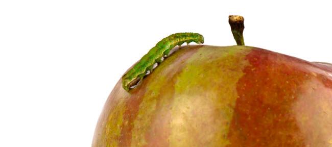 worm on an apple
